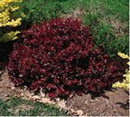 Barberry Crimson Pygmy s