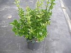 Ligustrum Wax Leaf